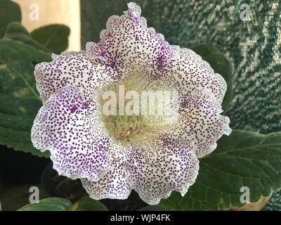 Close-up de púrpura manchada de gloxinia florece en el exterior