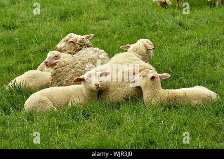 Ovejas descansando en verdes praderas Campo