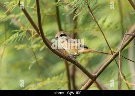 "Actuación en ""The Shrike"" Brown bird descansando sobre una rama de árbol con fondo borroso Foto de stock"
