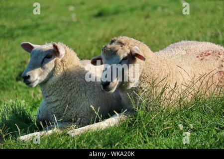 Dos ovejas descansando sobre el césped