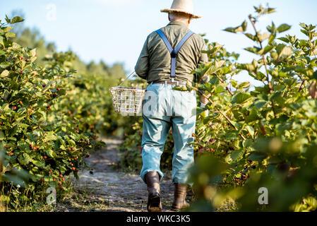 Altos jardinero recoger moras en la hermosa finca durante la soleada tarde, caminando de regreso. Concepto de jardinería y pequeñas bayas creciente