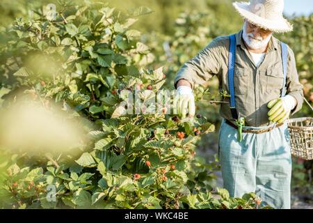 Senior hombre bien vestido como un jardinero recoger moras en la hermosa finca durante la soleada tarde. Concepto de jardinería y pequeñas bayas creciente