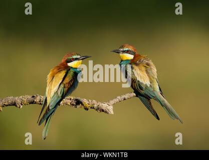 Cerca de dos europeos abejarucos (Merops apiaster) con plumas de soplado donde se posan en una rama.