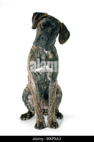 Puppy cane corso delante de un fondo blanco