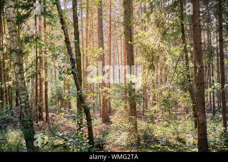 Hermoso bosque de verano de Franconia con muchos árboles de coníferas en la Nürnberger tierras en Alemania cerca de Schönberg Foto de stock