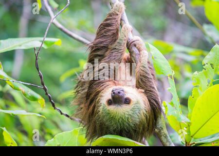 Close-up de Sloth colgando de los árboles
