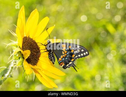 Vista ventral de una hermosa mariposa sobre una especie de girasol en el sol de la mañana