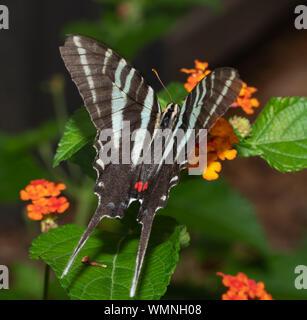 Vista dorsal de una hermosa mariposa especie cebra alimentándose de una flor de Lantana