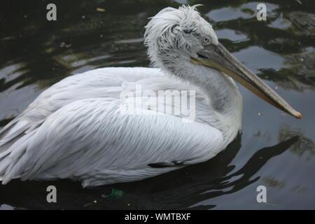 Pelican en Overloon Zoo