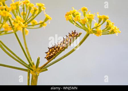 La diminuta de Caterpillar de segundo instar una especie de anís mariposa sobre el tallo de una flor de una planta de eneldo. Alrededor de un cuarto de pulgada de longitud.