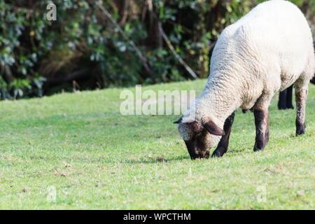 Cerrar imagen de Suffolk ovejas pastando en la hierba con espacio de copia