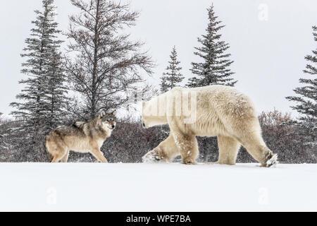 Lobo alfa y un oso polar macho solitario se encuentran cara a cara en el hielo
