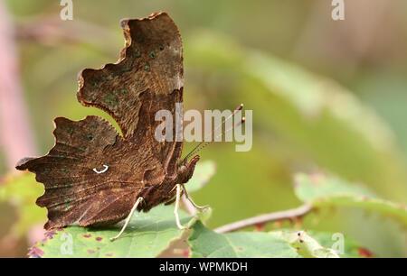 La vista lateral de una hermosa mariposa, Coma Polygonia c-album, encaramado sobre una hoja en un bosque Glade.