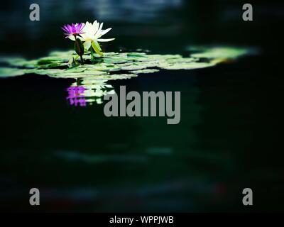 Nenúfares floreciendo en el lago