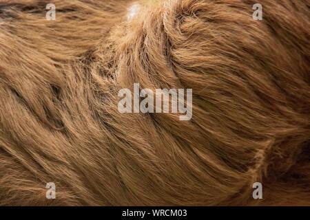 Vista cercana del lanoso pelo largo de la piel de un Linneo dos dedos cada sloth (Choloepus didactylus)