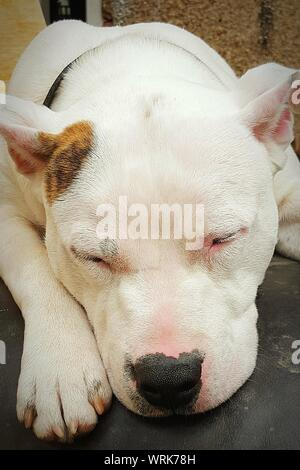 Close-up de bulldog americano durmiendo a la intemperie