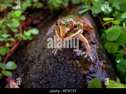 Close-up de Slimy Rana en roca mojada