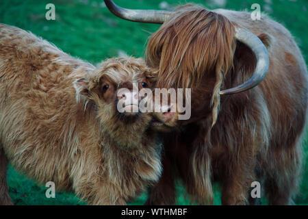 Mama vaca furtivamente un beso en las Islas Feroe Foto de stock
