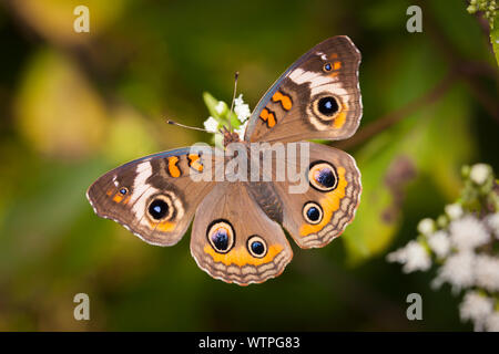 Buckeye (Junonia coenia común)
