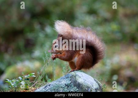 Cerca de una ardilla roja Sciurus vulgaris sentado en una pequeña piedra y comiendo una tuerca en Escocia