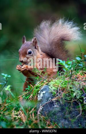 Retrato de una ardilla roja Sciurus vulgaris con una cola muy tupida comiendo una tuerca en el suelo del bosque en Escocia