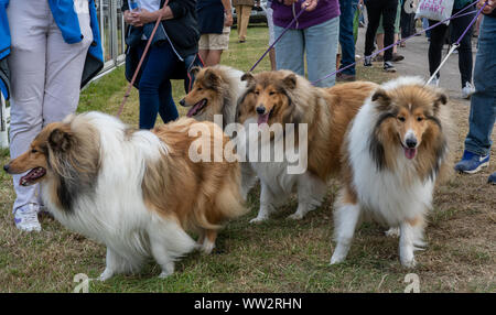 4 áspero de pelo largo collie perros en conduce a un condado inglés mostrar