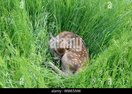 Joven ciervo rojo cervato, Cervus elaphus