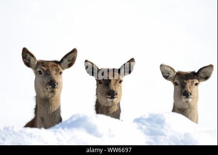 Red Deer hinds en la nieve, Cervus elaphus