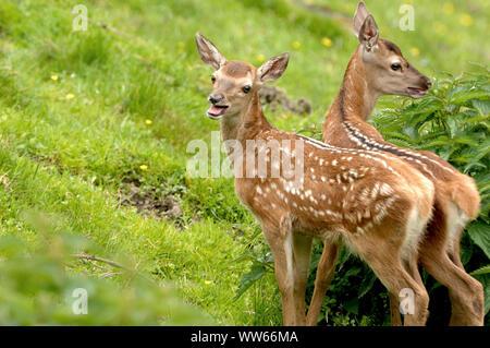 Dos jóvenes ciervo cervatillos, Cervus elaphus