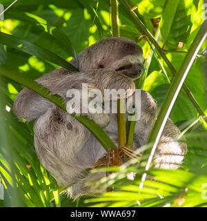 Brown-throated perezoso, Bradypus variegatus, sloth durmiendo en un árbol en Costa Rica