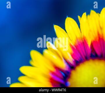 Coneflower en estrecha. Hermosas flores de color amarillo y naranja macro.