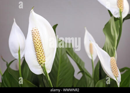 Spathiphyllum florece flores blancas.