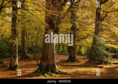 Bosques de hayas madura durante el otoño, el Parque Nacional de New Forest, Hampshire, Inglaterra, Reino Unido, Europa