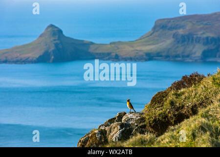 Un wheatear (Oenanthe oenanthe) en Ramasaig acantilado con un semental Aigeach t (la cabeza) en Neist Point en el fondo, la Isla de Skye, Escocia, Reino Unido Foto de stock
