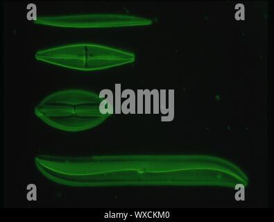 Las diatomeas del mar bajo el microscopio 100x