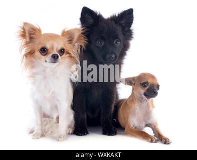Tres pequeños perros delante de un fondo blanco