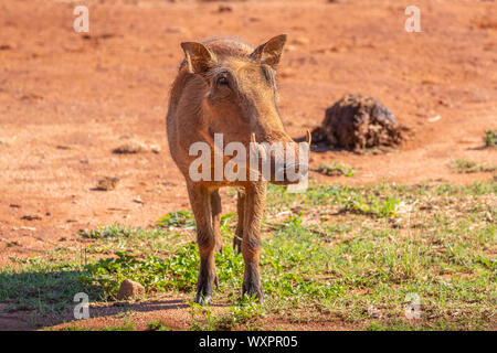 Un jabalí verrugoso (Phacochoerus africanus) retrato, Welgevonden Game Reserve, Sudáfrica. Foto de stock