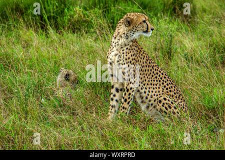 Guepardo - Phinda Game Reserve - Sudáfrica; femenino y cub Foto de stock