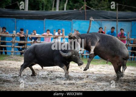 Los combates búfalos (Bubalus bubalis),Tailandia