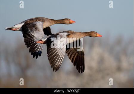 Graylag gansos (Anser anser) en vuelo, Reserva Natural del Delta Munchhausen Sauer, Rin, Alsacia, Francia
