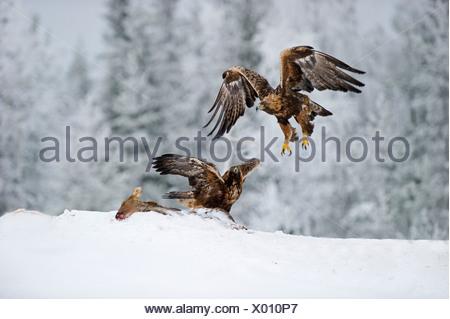 El Águila Real Aquila chrysaetos luchando por el alimento de invierno de Finlandia