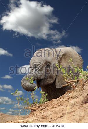 Elefante africano (Loxodonta africana), el Elefante joven alimentándose de una colina, Kenia, Masai Mara National Park Foto de stock