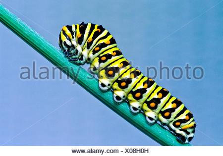 (Papilio polyxenes) Oriental Especie larva, quinto estadio alimentándose de anís.