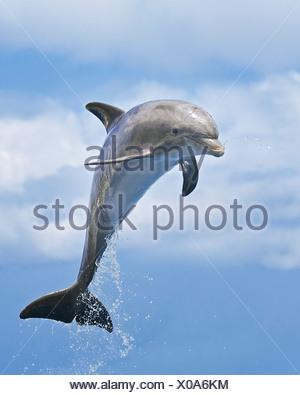 Ternero delfín mular (Tursiops truncatus, saltando Foto de stock