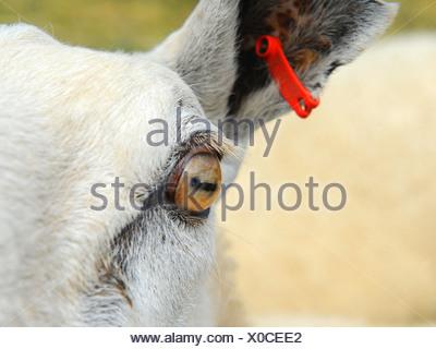 Un primer plano de un ojo de oveja Foto de stock
