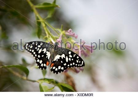 Una de cal, mariposas Papilio Demoleus malayanus sobre una flor rosa Foto de stock