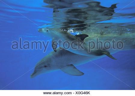 El delfín mular, tursiops truncatus, madre y la pantorrilla. Foto de stock