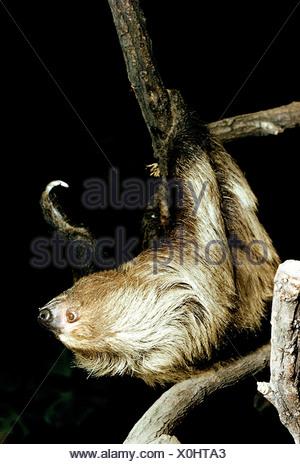 Zoología / ANIMALES / mamíferos mamíferos, pereza, Linneo dos dedos cada perezoso, (Choloepus didactylus), colgando en la sucursal, distribución