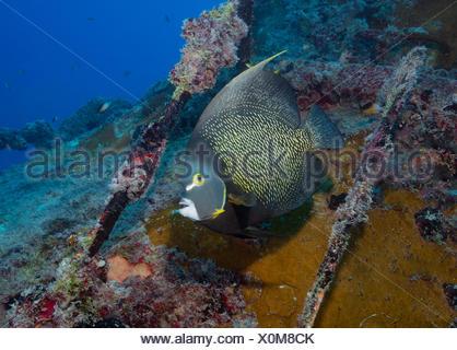 El pez ángel francés sobre el naufragio del buque Vandenberg, Key West, Florida.