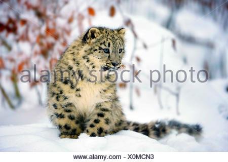 Snow Leopard (Uncia uncia, Panthera uncia), animal joven sentado en la nieve